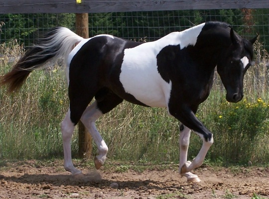 Beautiful Paint Horse Pictures